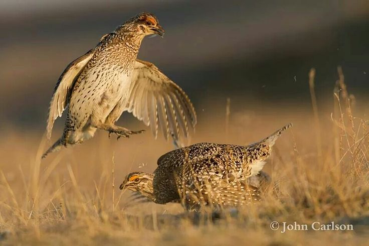 Sharp-tailed grouse males fighting in Montana.