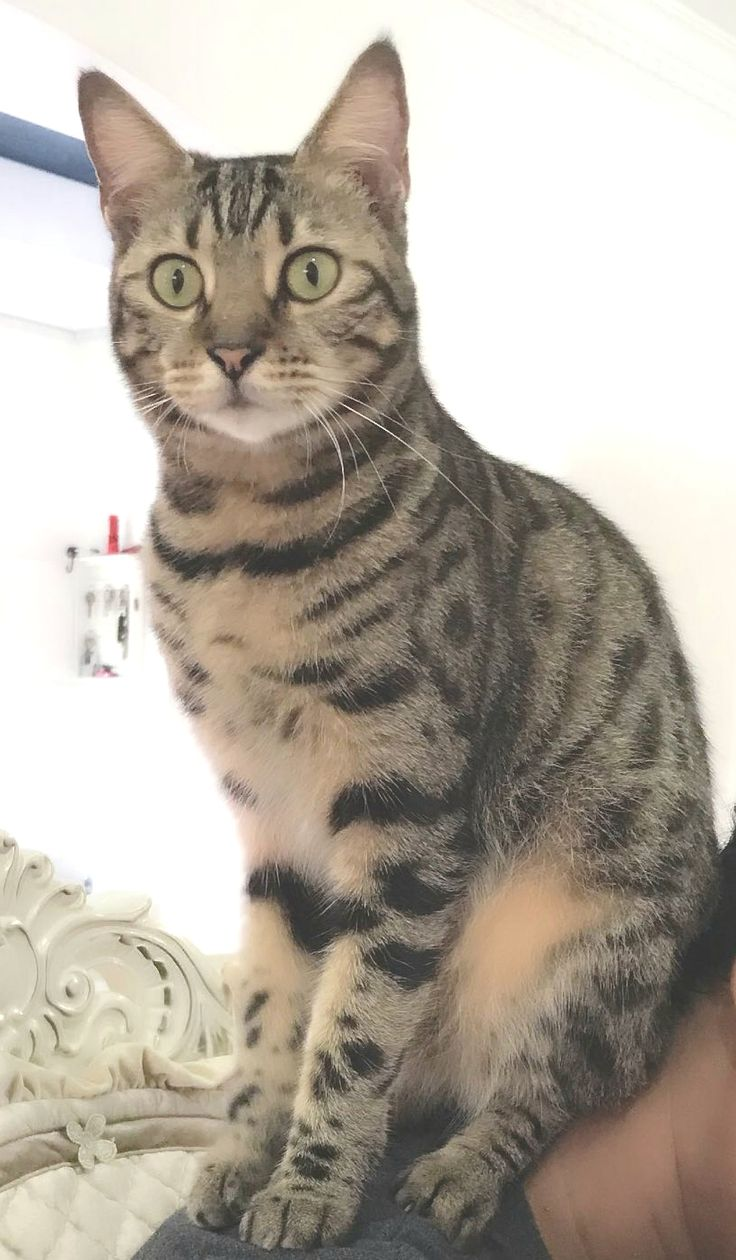 Name of pet Kiko Breed Bengal cat Color Brown with