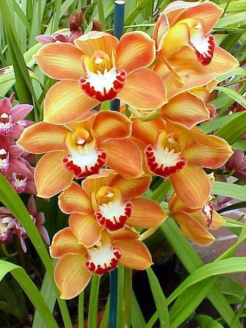 cumbidiun orchids orchideen pinterest calla. Black Bedroom Furniture Sets. Home Design Ideas