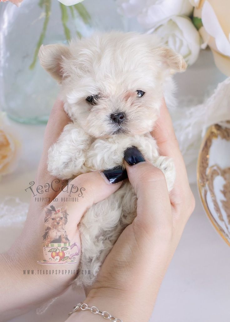 Micro Teacup Maltese Puppy By Teacup Puppies Boutique