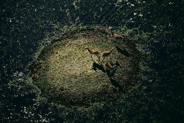 Cobes lechwe dans le delta de l'Okavango, Botswana