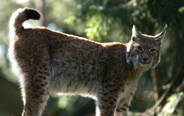 Lynx lynx Lodjur. Foto: Per Wedholm/Länsstyrelsen.