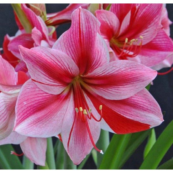 352 best images about logee 39 s flowering plants on for Signification amaryllis