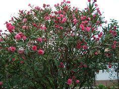 Floresamatxo. Todo sobre las Flores: consejos para cuidar tus flores y plantas.: ADELFA ( Nerium Oleander )