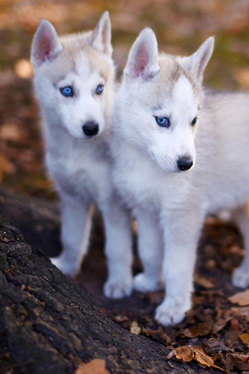Beautiful Chubbie Chubby Adorable Dog - 5783f7d248ee6e1c9b29114b833faac5--husky-pups-huskies-puppies  You Should Have_445869  .jpg