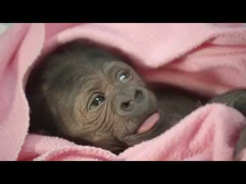 Baby Gorilla Joanne nasce allo Zoo di San Diego con cesareo - YouTube
