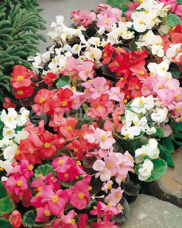 Begonia semperflorens - Azedinha-do-brejo, begónia-cerosa