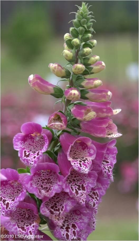 Early planting is a key to success for foxgloves, columbines, delphiniums and hollyhocks.