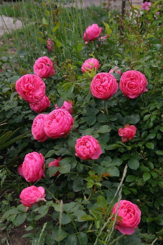 rosa Leonardo da Vinci. Meilland rose. Not a David Austin one, but nevertheless extremely beautiful!