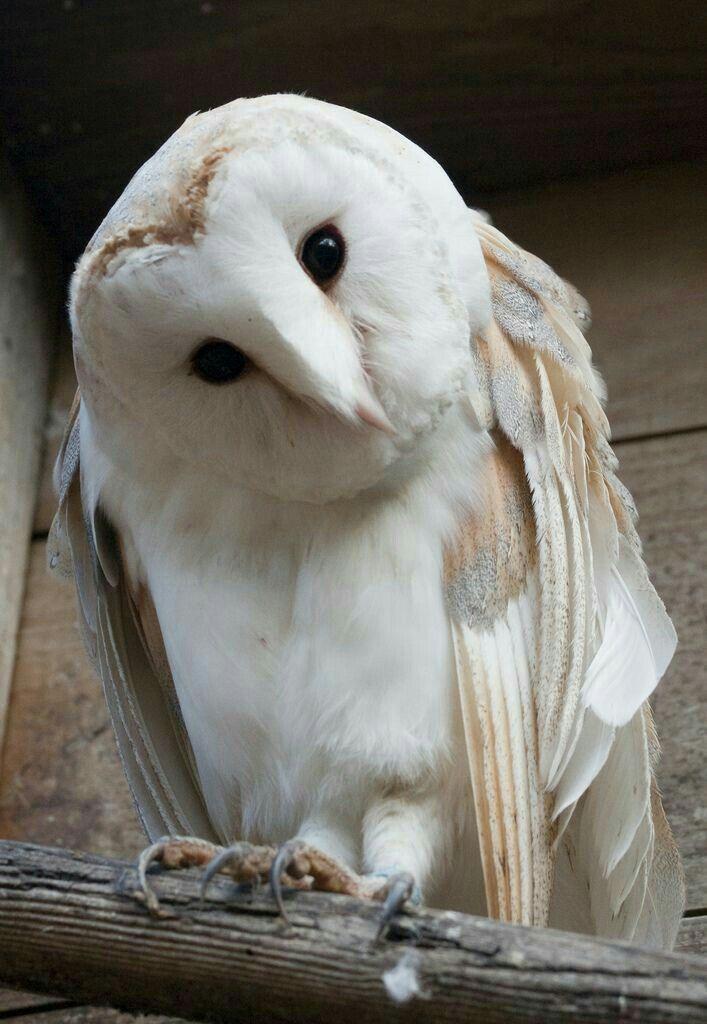 Owl 57 222 best The My...