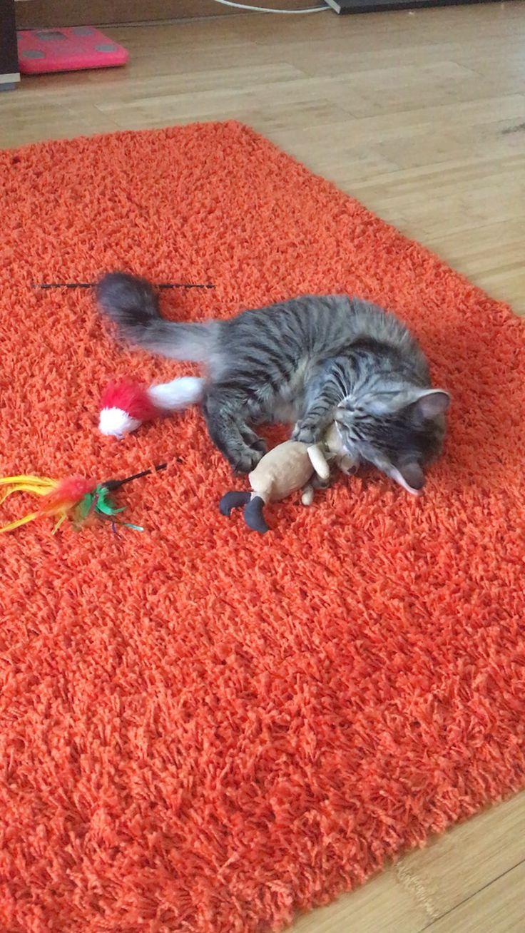 #cat #pisica #joaca