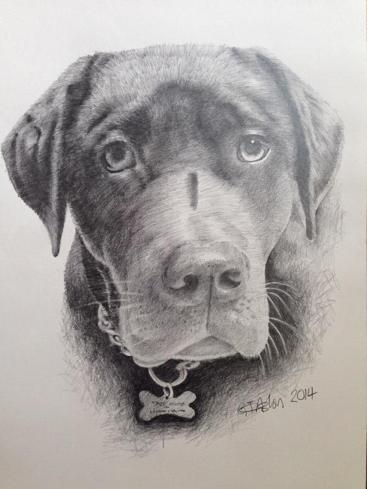 "Pencil drawing of a dog -  ""Chunk"" a Brown Labrador"