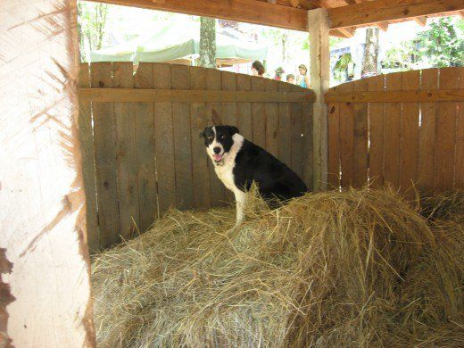Border collie, a type of herding dog