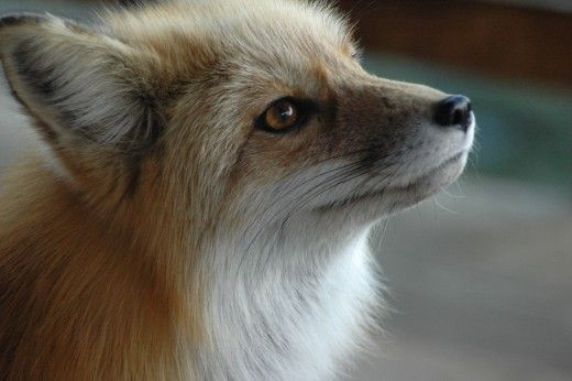 Curious Facts about Foxes