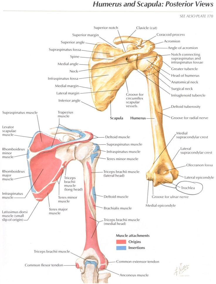 drawing and anatomy the shoulder girdle Anatomy atlas of the upper limb: anatomy diagrams of shoulder, arm, elbow, forearm, wrist and hand.
