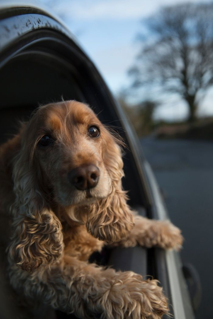 Cocker Spaniel -  from Dogs Hanging Out of Windows