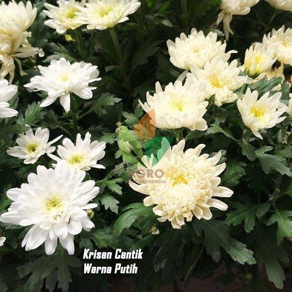 Foto Bunga Krisan Putih Bunga Krisan Puma Putih Bunga Ini Memiliki Berbagai Macam Warna Ada Merah Biru Dan Juga Putih Jual Bibit Bung Di 2020 Bunga Menanam Warna