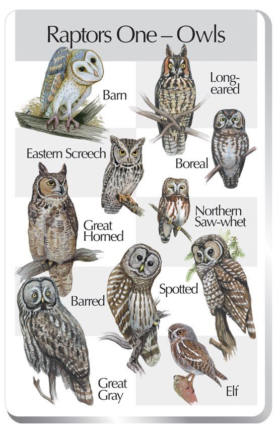Owl types. Handy little poster for identifying Northern Hemisphere Owls.