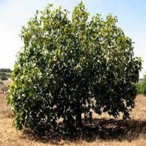 Гороскоп друидов - (фиговое дерево) фото дерево инжир 1