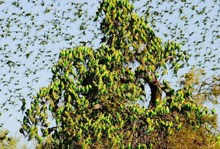 Budgie Swarm! On my Bucket List: I so want to go to Australia and see this! My favourite birds, followed by Cockatiels, and then English Robins.