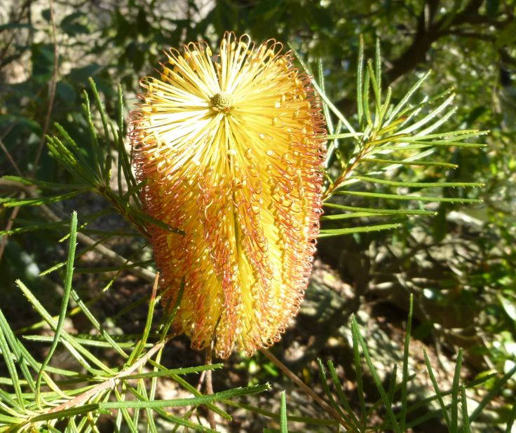 Banksia spinulosa