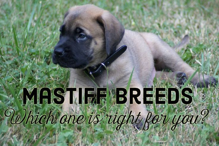 Breaking Down the Mastiff Breeds
