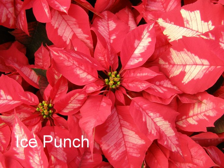 17 Best images about Plants -Poinsettia on Pinterest | The ...