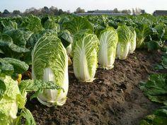 Выращивание пекинской капусты - поделюсь многолетним опытом