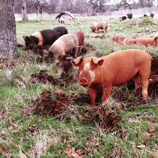 """Purchasing and Managing Pastured Pigs"" Have you ever considered working with Pastured Pigs? It can be a rewarding and worthwhile experience. Tim Rohrer talks about some of the things that he learned while managing the Pastured Pigs at Joel Salatin's Polyface Farm, and shares a few things to consider before purchasing some pigs of your own. From MOTHER EARTH NEWS"