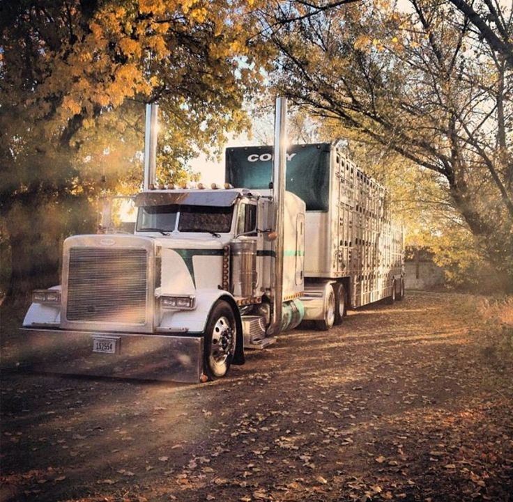 White and green Peterbilt cow hauler