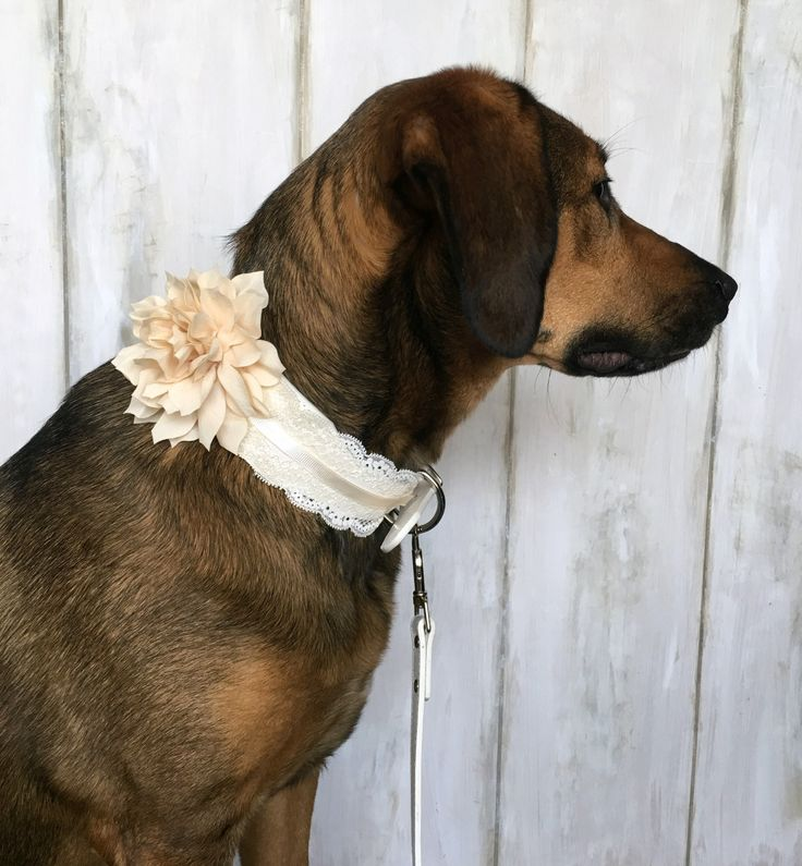 Wedding Dog Collar with Lace and Ivory Bloom in White Leather