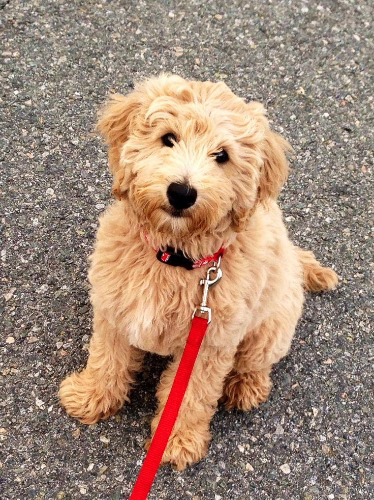favorite breed of dog: golden doodle- mix of a golden retriever and a poodle
