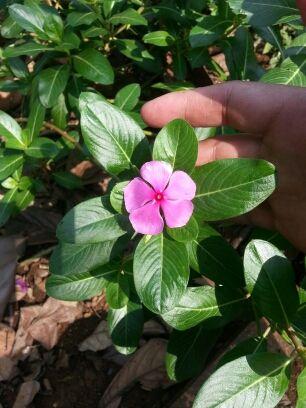 Tapak dara, tanaman perdu yang tampak biasa2 saja ini ternyata bisa untuk obat sariawan, demam, disentri sampai kangker.