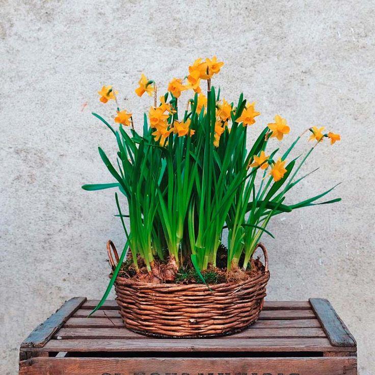 Envía una cesta de narcisos amarilos a tus seres queridos. Alegre, decorativa y presentada en una cesta de mimbre. Contiene 7 narcisos. Narcisus, daffodil