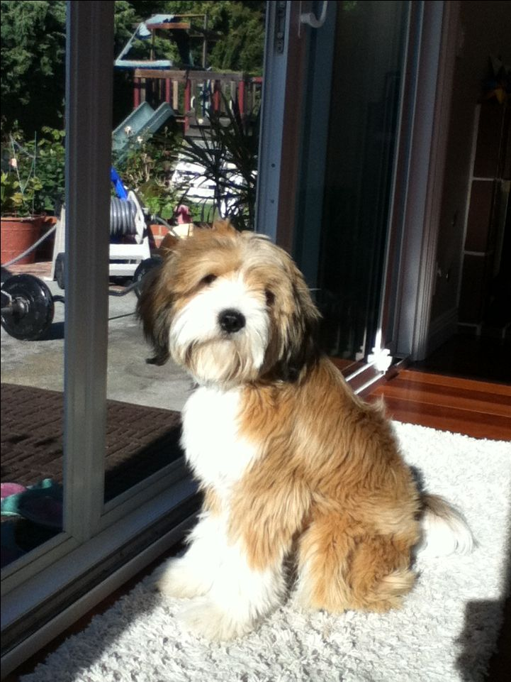 Tibetan Terrier Tibetan Terrier Dogs Terrier Breeds