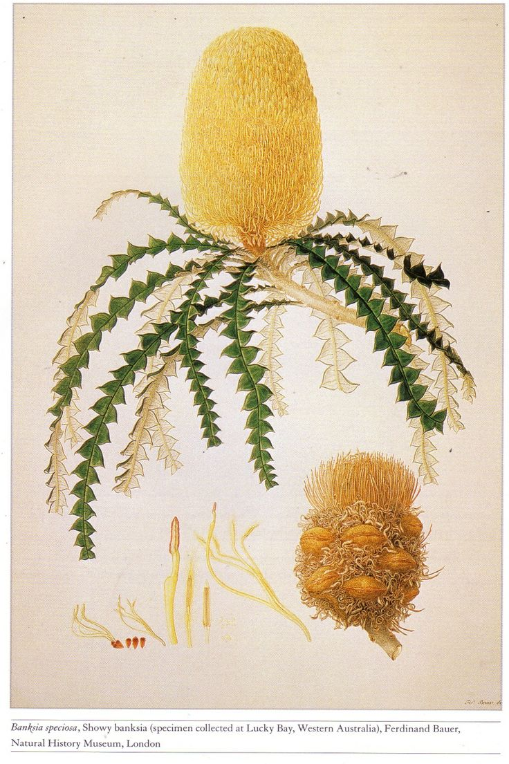 Banksia speciosa by Ferdinand Bauer, collected at Lucky Bay, Western Australia on Matthew Flinders's botanical and zoological expedition. It was a voyage of discovery to Australia on the Investigator between 1801-03