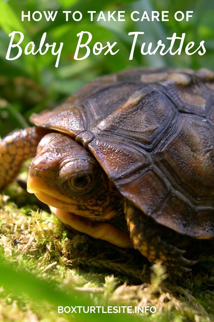 From egg to baby box turtle breeding tips and tricks