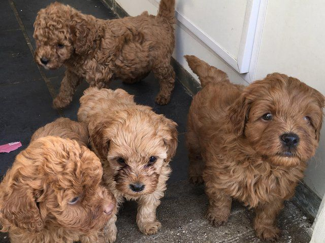 Red Cavapoo Puppies For sale For Sale in Crediton, Devon | Preloved