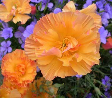 "Eschscholzia californica 'Apricot Chiffon' ""Apricot California Poppy"""
