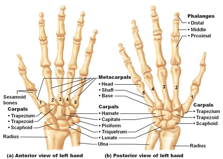 Hand structure anatomy