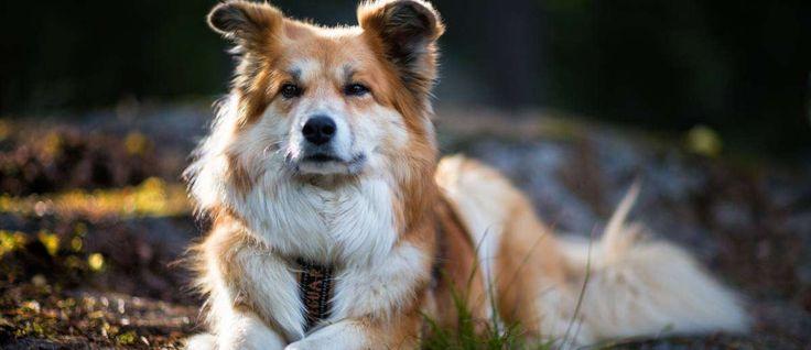 De oorsprong ligt in Scandinavië en de IJslandse hond is een spitz ras. Tijdens de 19e eeuw stierf meer dan 75% van dit ras uitdoor hondenziekte en de pest. Als enige inheemse hond van IJsland, wordt dit ras beschouwd als een van de oudste rassen ter wereld.