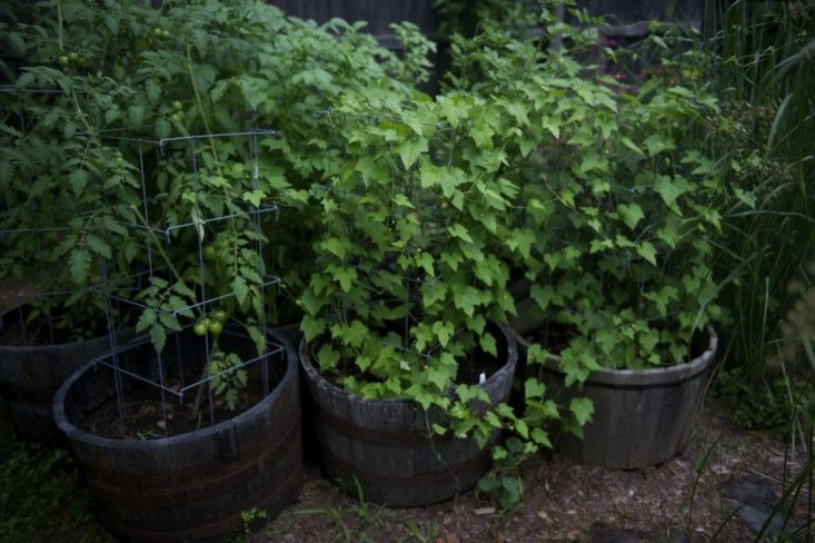 Laura Silverman upstate NY kitchen garden ; Gardenista [containers of tomatoes & cucumbers]