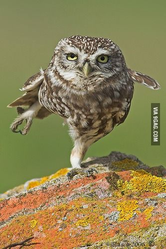 ♂ Wildlife photography #Kungfu #bird #owl