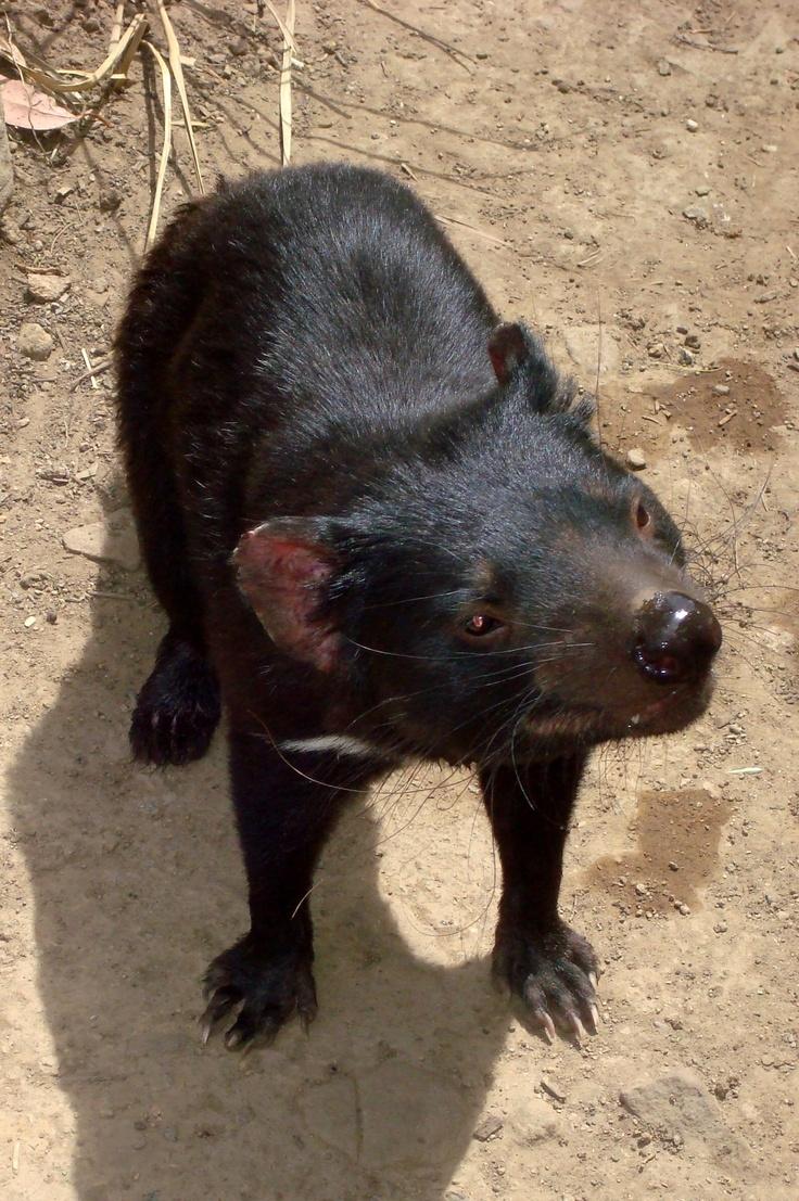 57 Best Images About Marsupials On Pinterest Wombat