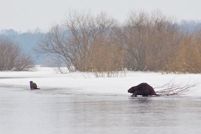 Beaver and otter in the Biebrza Marshes in Poland