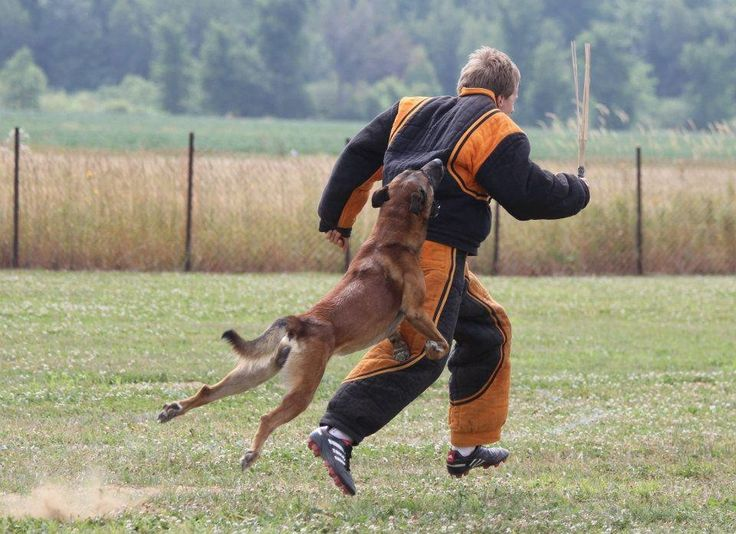 Personal Protection Dog trained and sold by www.deltak9.com