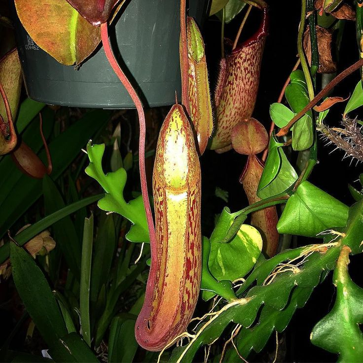 Nepenthes x 'Miranda' - A couple of the many new pitchers. I'm so glad this one is growing well for me. by you_can_lead_a_horticulture