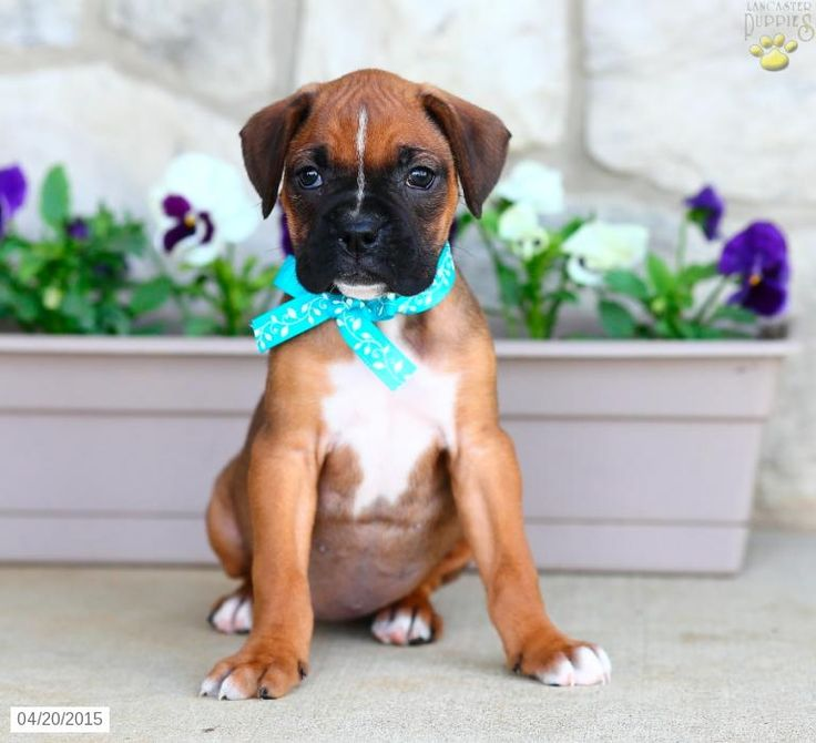 Boxer Puppy for Sale in Pennsylvania