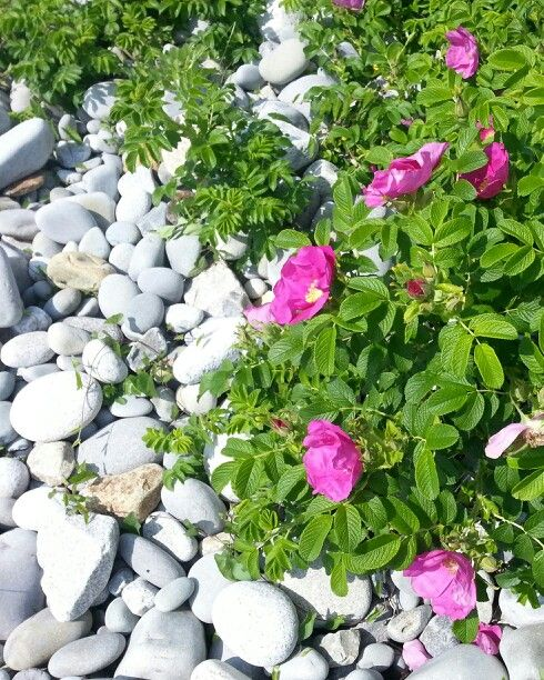 Wild Roses at Whitepoint Beach on NS's south shore.