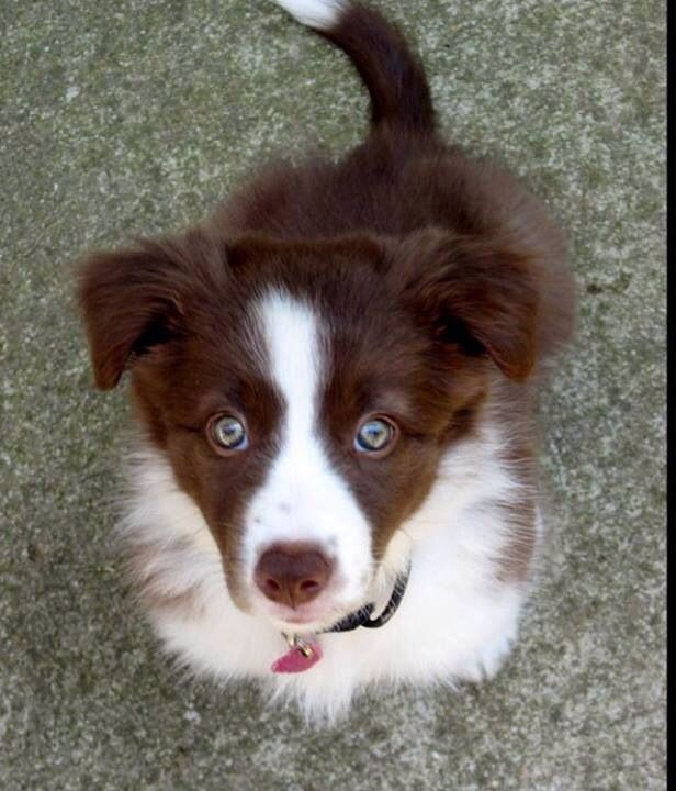 Red border collie